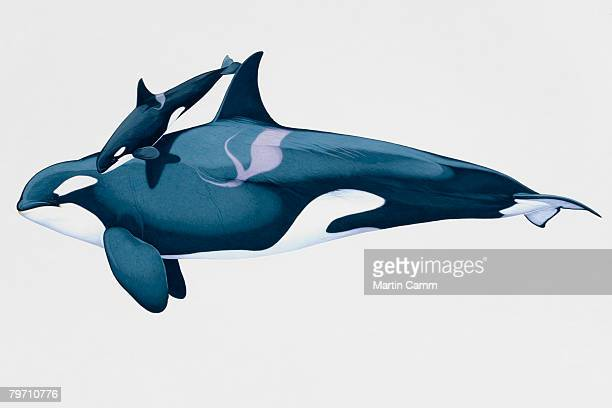 side view of killer whale swimming with calf - killer whale stock illustrations, clip art, cartoons, & icons
