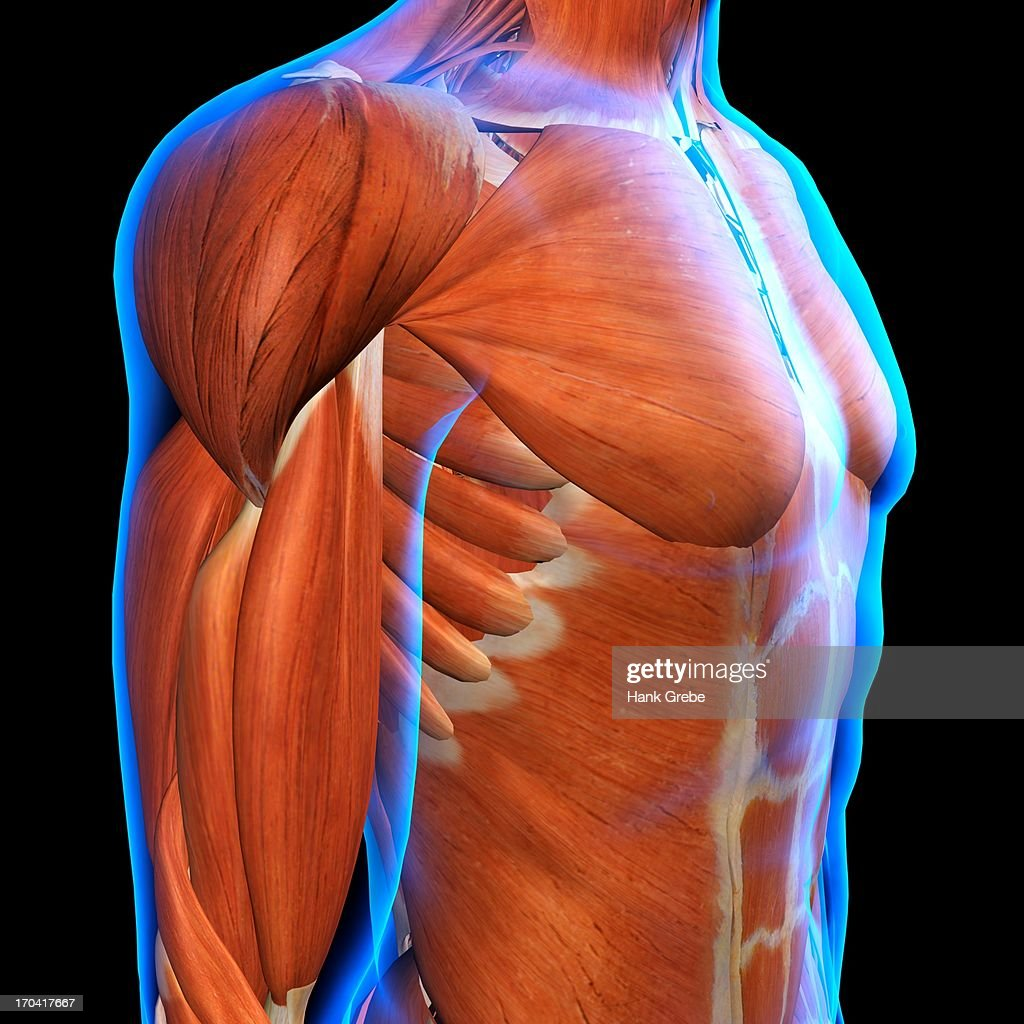 Side View Of Male Chest And Abdominal Muscles Anatomy In Blue Xray ...