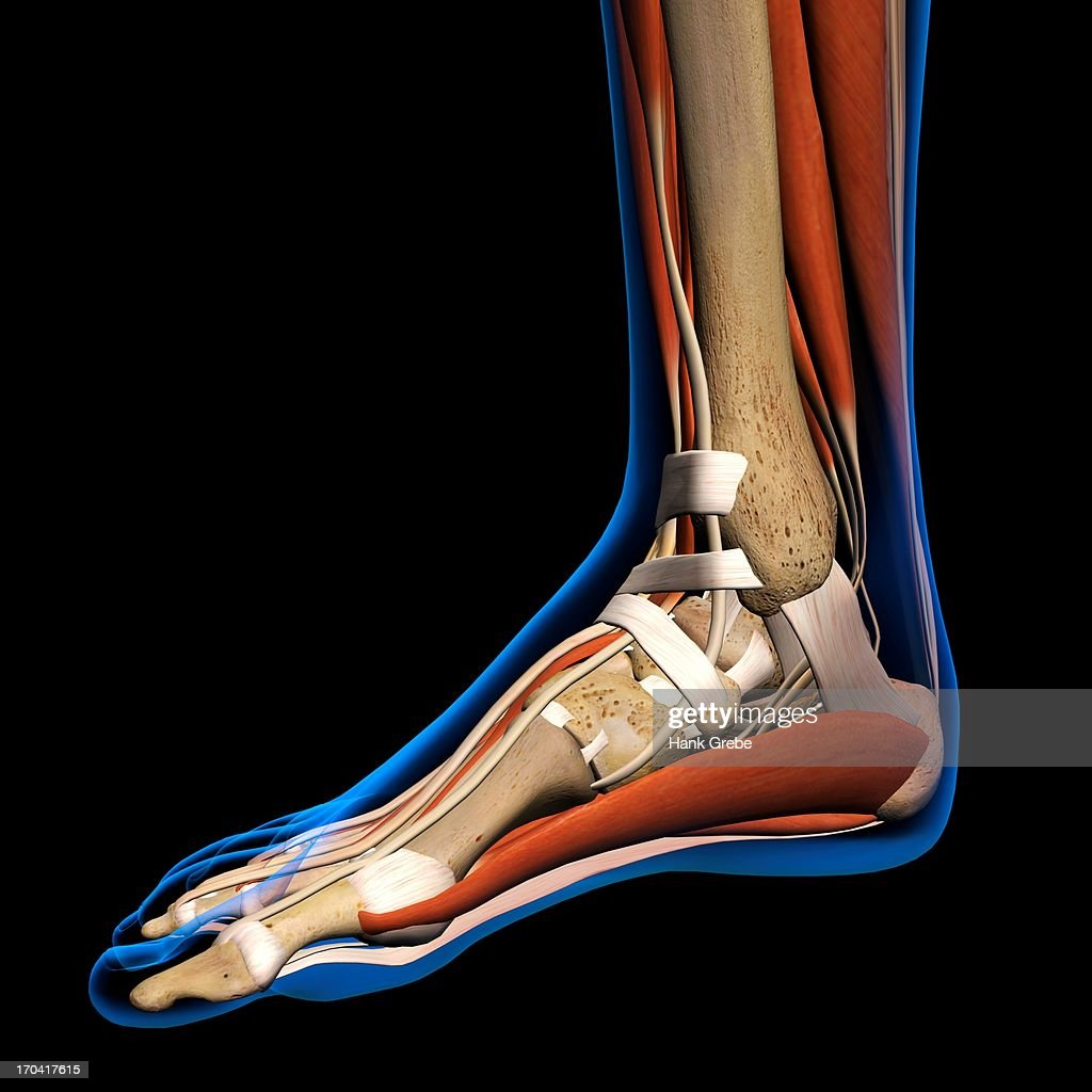Side View Xray Of Female Ankle And Foot Bones Muscles And Ligaments ...