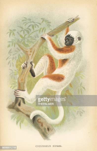 sifaka lemur primate 1894 - lemur stock illustrations, clip art, cartoons, & icons