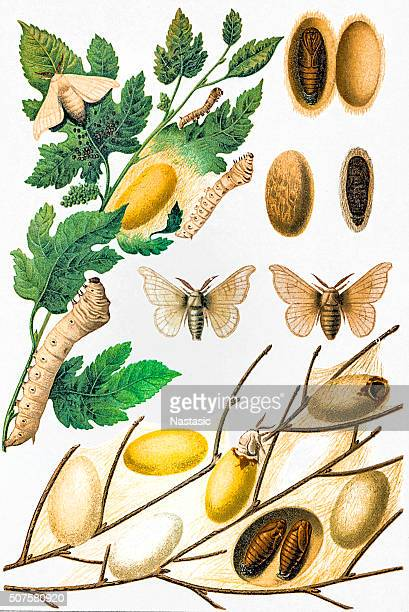 Silkworm and silk culture