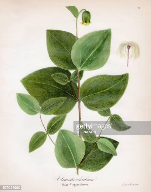 silky virgin bower botanical engraving 1843 - buttercup stock illustrations, clip art, cartoons, & icons