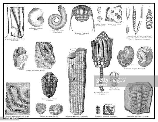 Silurian era fossils