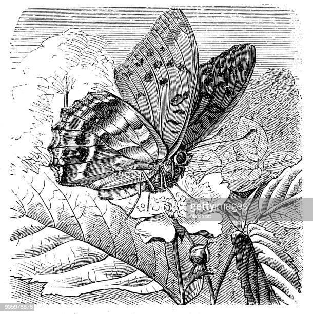 ilustrações, clipart, desenhos animados e ícones de silver-lavado cybele (argynnis paphia - zoologia