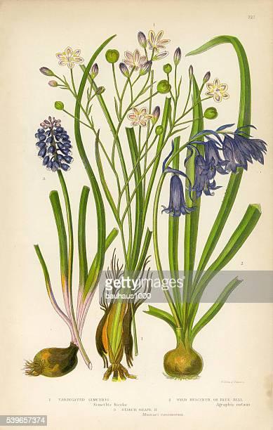 simethis, hyacinth, blue bell, wild hyacinth, victorian botanical illustration - plant bulb stock illustrations