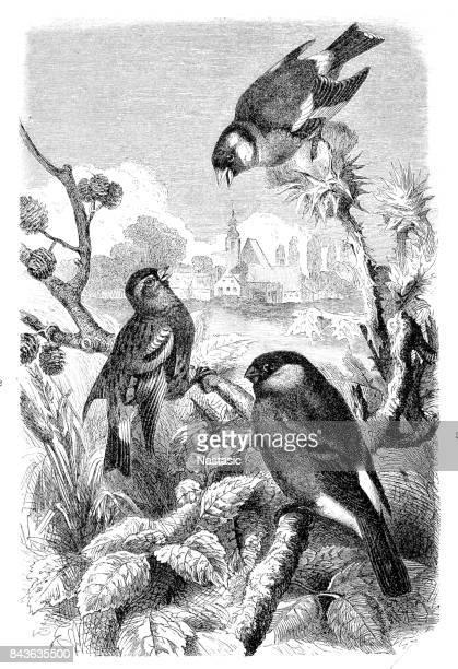 Siskin, Bullfinch, and Goldfinch