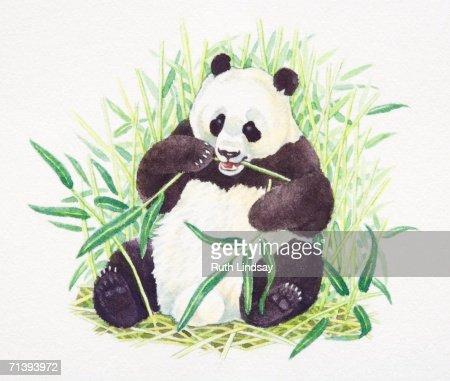 Sitting Giant Panda Ailuropoda Melanoleuca Eating Bamboo