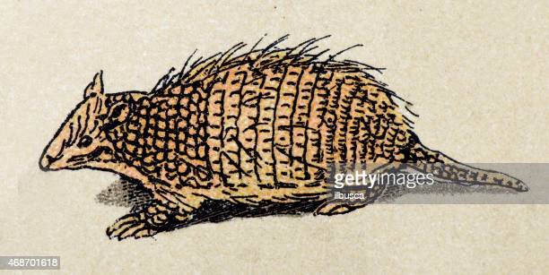 Six-banded armadillo, mammals animals antique illustration