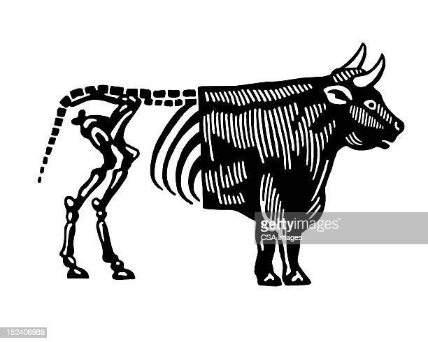 Esqueleto extremidade traseira de Bull
