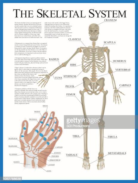 skeletal poster - limb body part stock illustrations