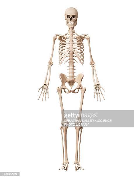 ilustraciones, imágenes clip art, dibujos animados e iconos de stock de skeletal system, illustration - esqueleto humano