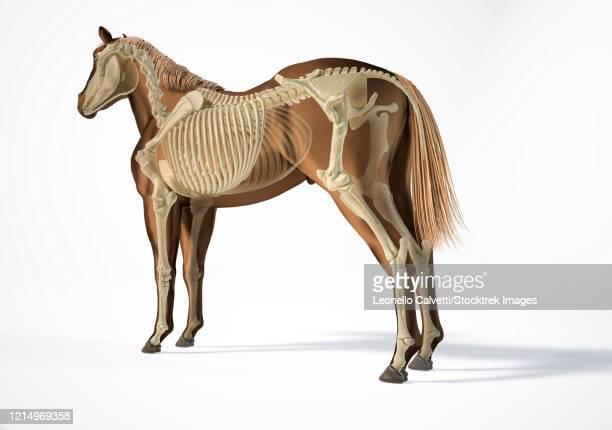 skeletal system of a horse with ghost effect. - gliedmaßen körperteile stock-grafiken, -clipart, -cartoons und -symbole