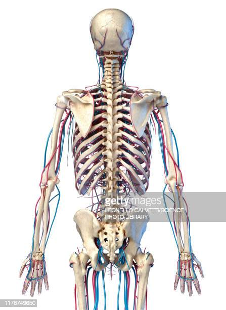 skeleton and vascular system, illustration - {{relatedsearchurl('racing')}} stock illustrations, clip art, cartoons, & icons
