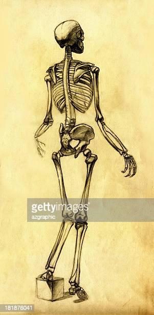 ilustraciones, imágenes clip art, dibujos animados e iconos de stock de esqueleto dibujo vista posterior de - femur