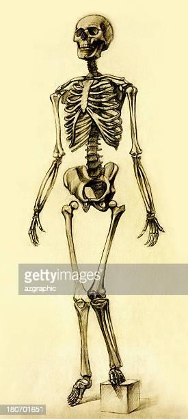 ilustraciones, imágenes clip art, dibujos animados e iconos de stock de esqueleto dibujo vista de frente - hueso de la pierna
