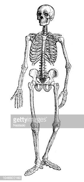 skeleton - human skeleton stock illustrations