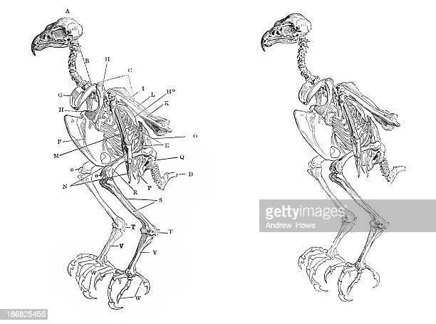 skeleton of a hawk - animal skeleton stock illustrations, clip art, cartoons, & icons