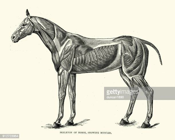 skeleton of a horse, showing muscles - anatomie stock illustrations