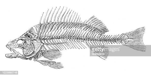 Skeleton of fish bass perch 1875