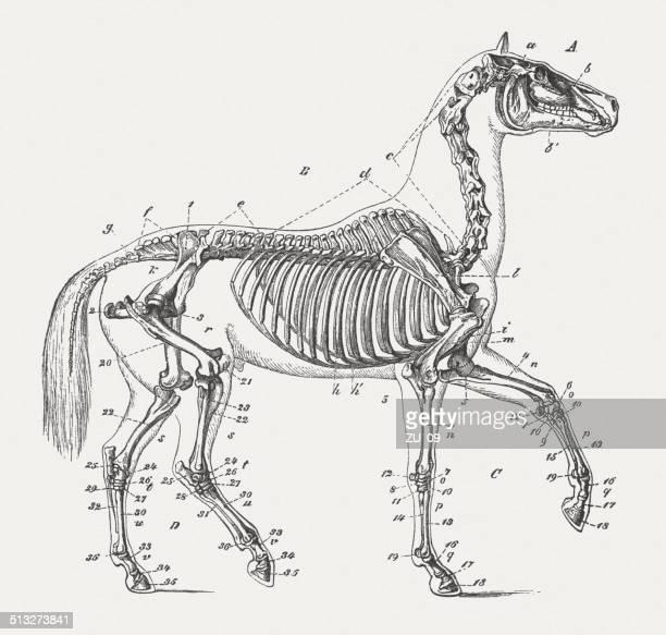 skeleton of horse, wood engraving, published in 1883 - animal skeleton stock illustrations, clip art, cartoons, & icons