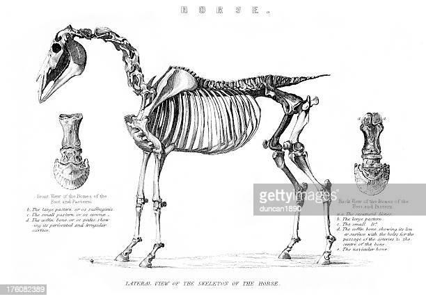 skeleton of the horse - animal skeleton stock illustrations, clip art, cartoons, & icons