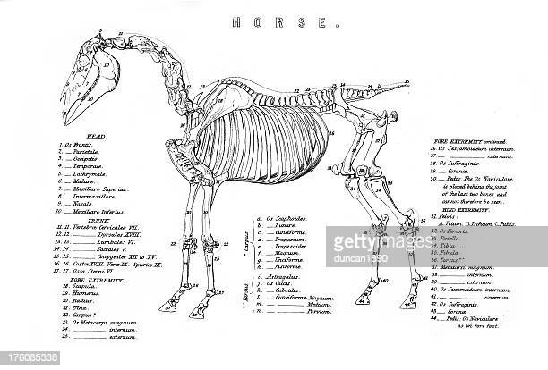 skeleton of the horse - animal spine stock illustrations, clip art, cartoons, & icons