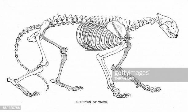 skeleton of tiger engraving 1894d - animal skeleton stock illustrations, clip art, cartoons, & icons