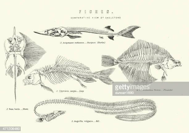 skeletons of fishes - sturgeon skate carp flouder and eel - animal skeleton stock illustrations, clip art, cartoons, & icons