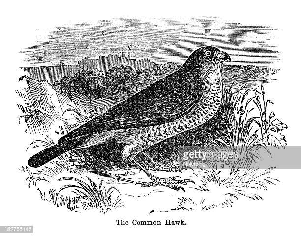 sketch of a bird perched on cliff - peregrine falcon stock illustrations, clip art, cartoons, & icons