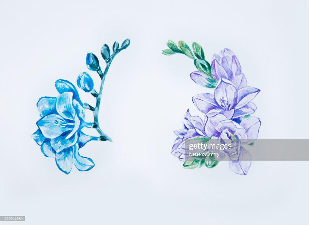 393e092e8 Sketch of beautiful blue and violet freesia on a white background. : stock  illustration