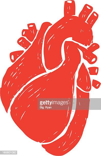 sketched human heart