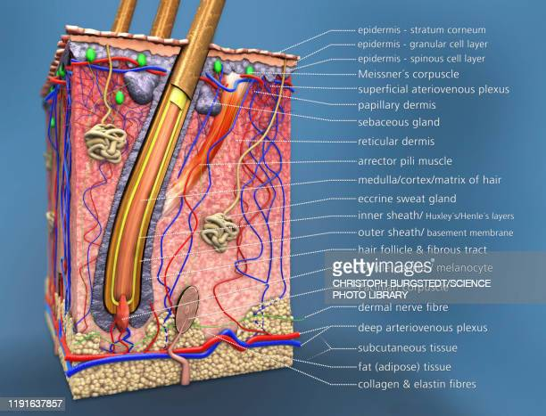 skin anatomy, illustration - dermis stock illustrations
