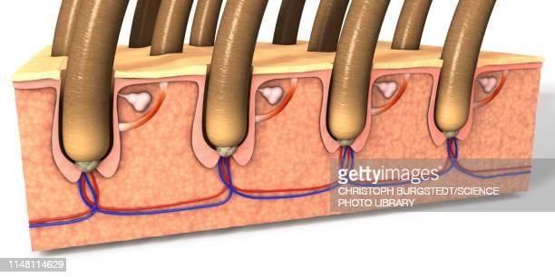 skin cross section, illustration - dermis stock illustrations