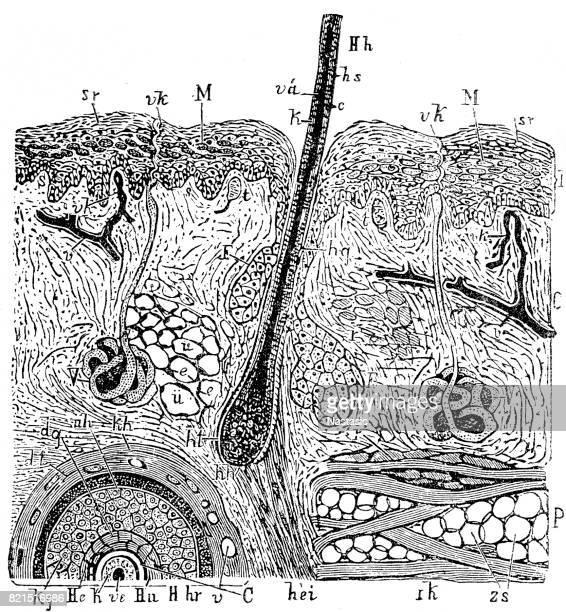 skin of the human - hair follicle stock illustrations