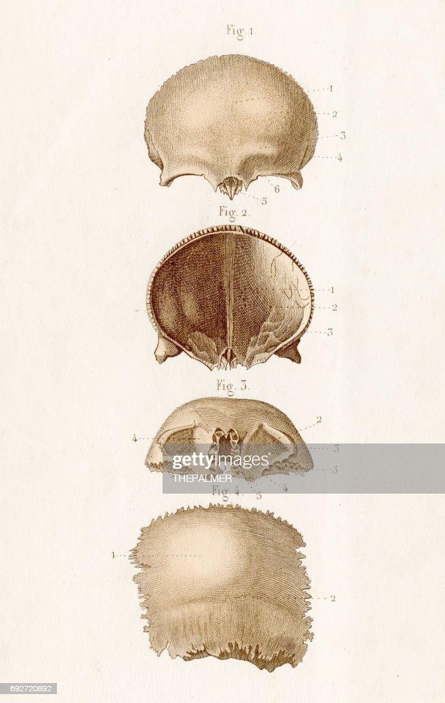Skull Bones Anatomy Engraving 1886 Stock Illustration | Getty Images