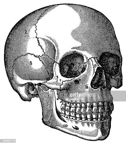 ilustraciones, imágenes clip art, dibujos animados e iconos de stock de cráneo - ilustración biomédica