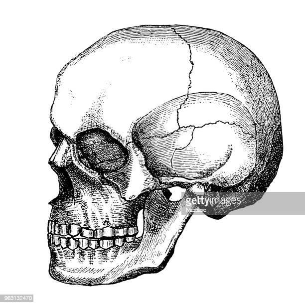 ilustraciones, imágenes clip art, dibujos animados e iconos de stock de cráneo - parte del cuerpo animal