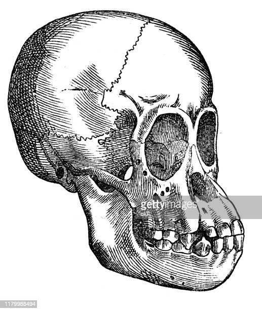 skull of a young orangutan - great ape stock illustrations