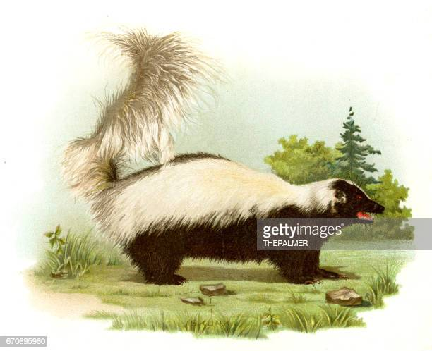 skunk lithograph 1897 - skunk stock illustrations