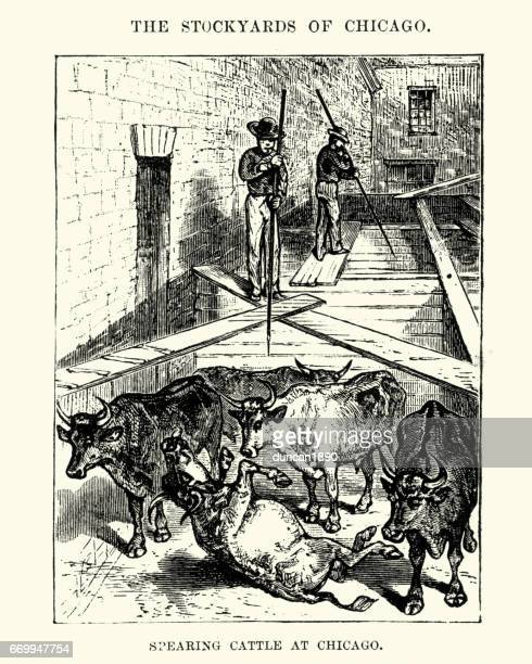 ilustraciones, imágenes clip art, dibujos animados e iconos de stock de slaughterman spearing cattle, chicago, 19th century - matadero