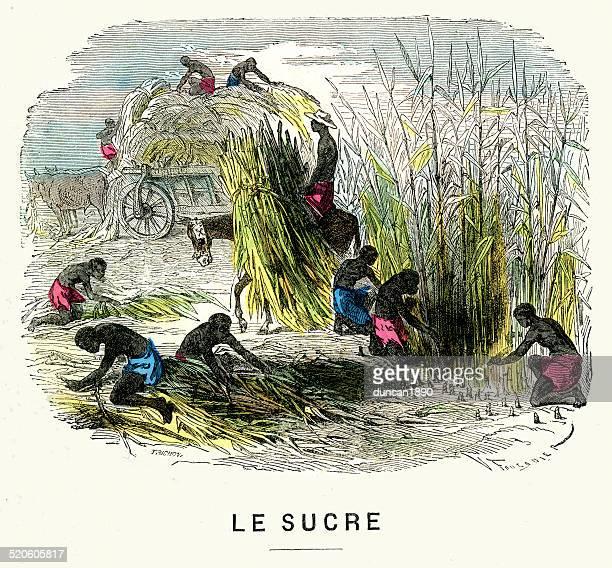 奴隷採取サトウキビ