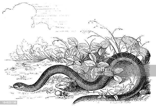 illustrations, cliparts, dessins animés et icônes de orvet (anguis fragilis - orvet