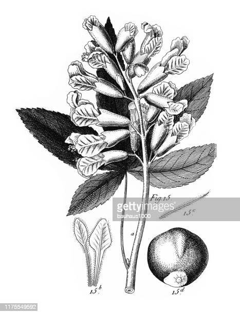 small buckeye, cultivated plants of the ranunculaceae and other families engraving antique illustration, published 1851 - arugula stock illustrations, clip art, cartoons, & icons