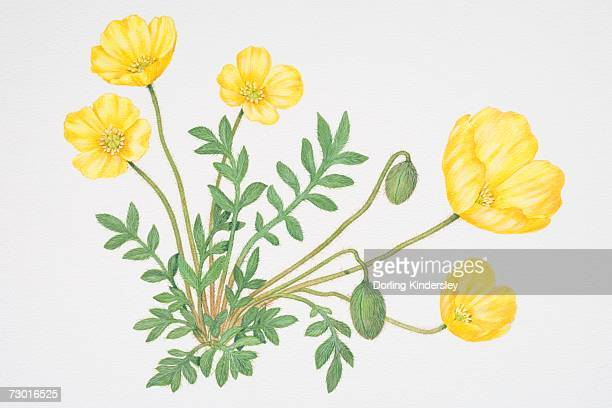 small green leaves and bright yellow flowers, some closed, of papaver lapponicum, arctic poppy. - perennial stock illustrations, clip art, cartoons, & icons