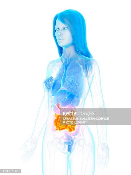 small intestine, illustration - human intestine stock illustrations