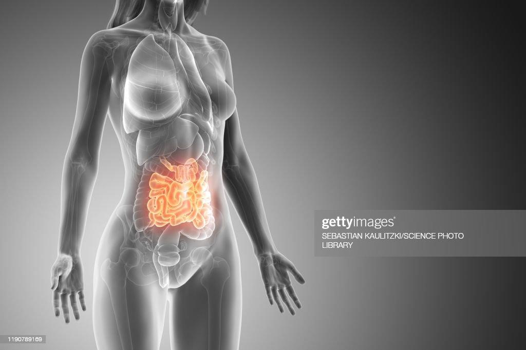 Small intestine, illustration : Stock Illustration