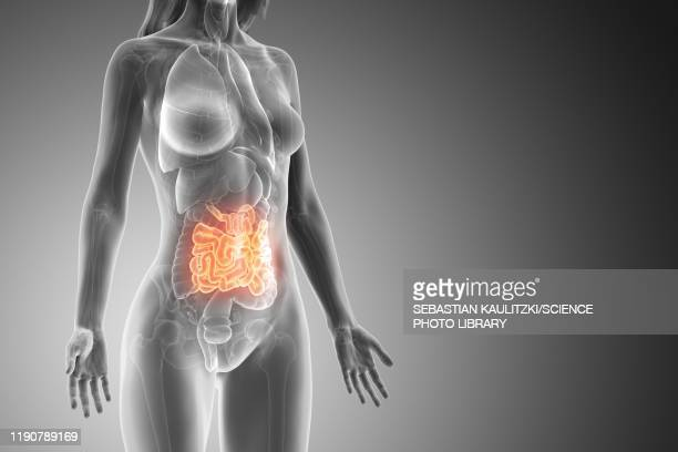 small intestine, illustration - digestive system stock illustrations