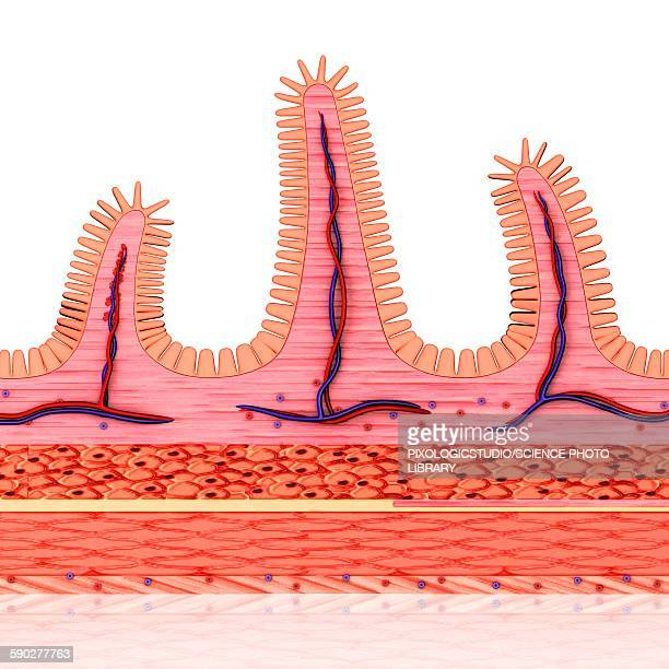 small intestine wall, illustration - small intestine stock illustrations