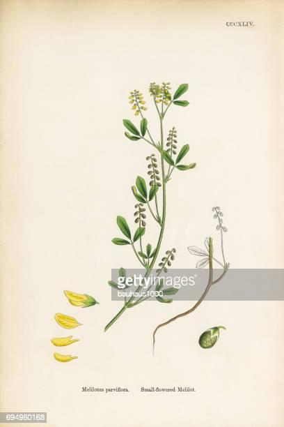 小さな花のメリロート、シナガワハギ属アブラナ科、ビクトリア朝の植物イラスト、1863