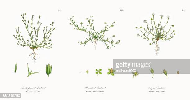 small-flowered pearlwort, sagina ciliata, victorian botanical illustration, 1863 - sandwort stock illustrations, clip art, cartoons, & icons